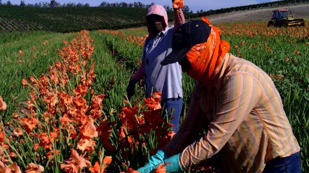 Inmigrantes en la siembra de flores